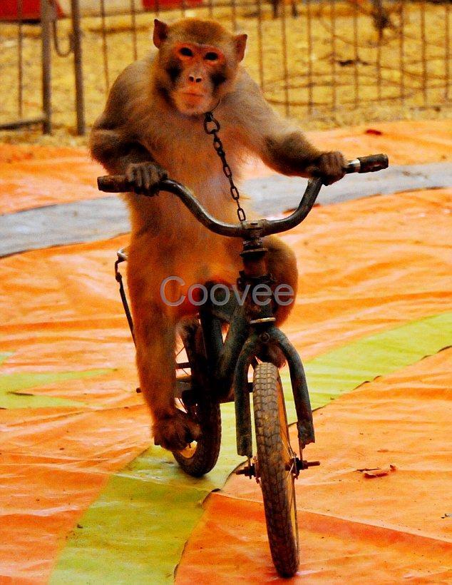 猴子踩高跷 卡通
