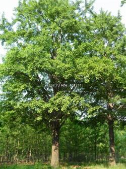 山东长青绿化苗木基地自行提供,如果您对银杏树苗