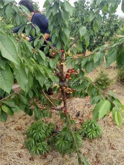 详细介绍   病虫害防治是樱桃树