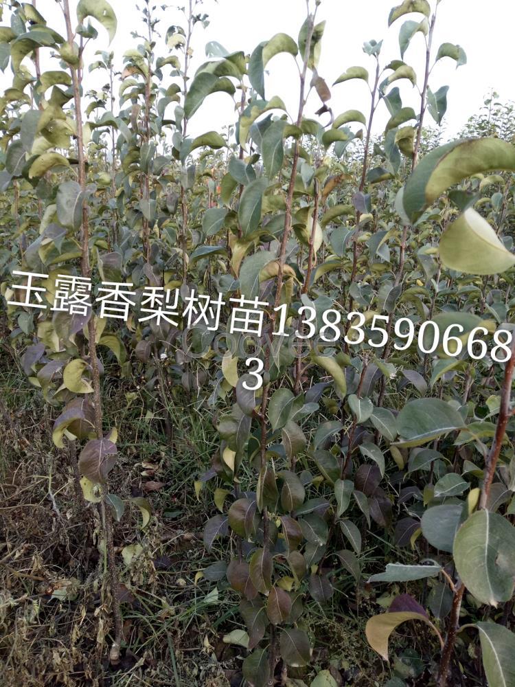 供应商机 农业 园艺 其他苗木 供应桃树杏树枣树梨树苹果树   山西