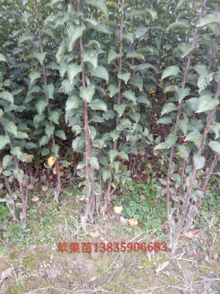 供应桃树杏树枣树梨树苹果树